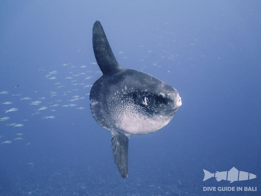 Mola mola dive guide in the bali for Opah fish price