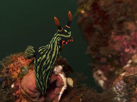 Голожаберный моллюск (Nembrotha kubaryana). Туламбен, Бали