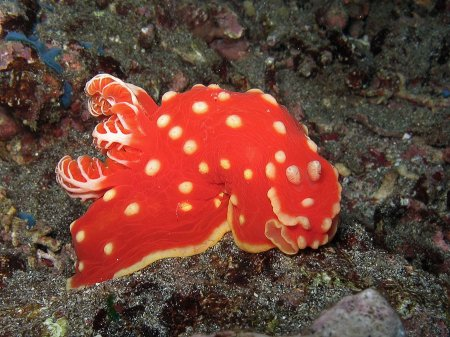 Strawberry nudibranch (Gymnodoris aurita). Cristal Bay, Nusa Penida