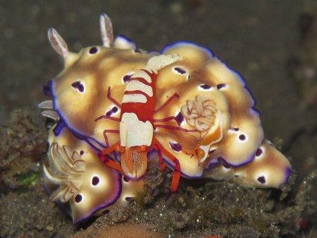 Голожаберный моллюск и императорская креветка (Hypselodoris tryoni & Periclimenes imperator). Туламбен, Бали