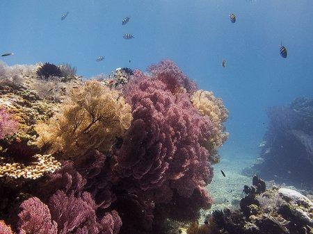 Сад горгонарий. Амед, Бали