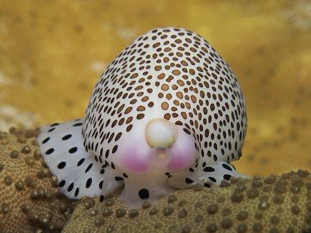 Моллюск (Calpurnus verrucosus). Паданг Бай, Бали