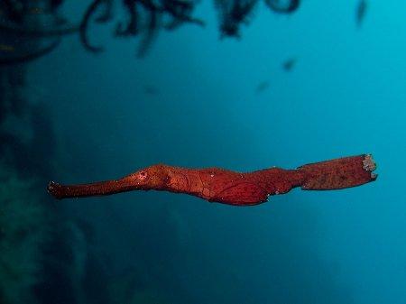 Травяной трубкорыл (Solenostomus cyanopterus). Туламбен, Бали
