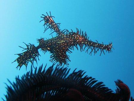 Трубкорыл арлекин (Solenostomus paradoxus). Паданг Бай, Бали
