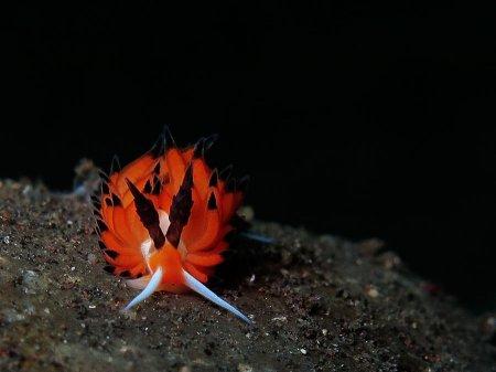 Голожаберный моллюск (Favorinus tsuruganus). Туламбен, Бали