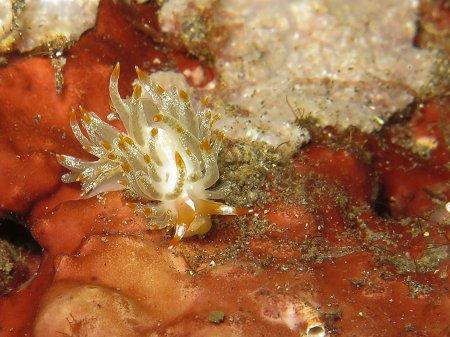Голожаберный моллюск (Flabellina salmonacea). Туламбен, Бали