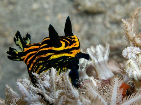 Голожаберный моллюск (Roboastra luteolineata). Нуса Дуа, Бали