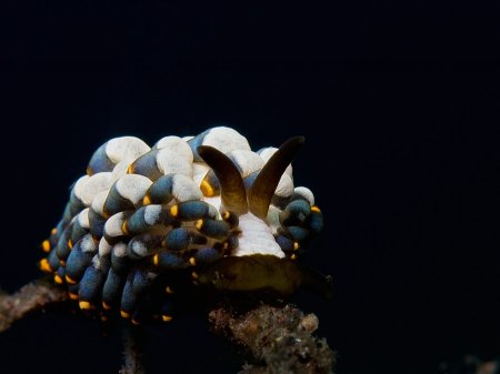 Голожаберный моллюск (Trinchesia yamasui). Туламбен, Бали