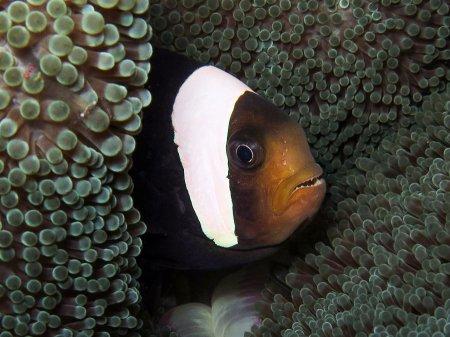 Североиндийская рыба клоун (Amphiprion sebae). Амед, Бали