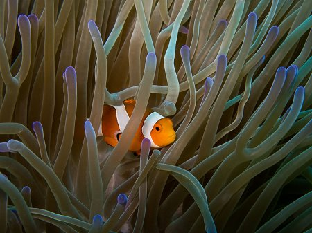 Clown Anemonefish (Amphiprion ocellaris). Amed, Bali