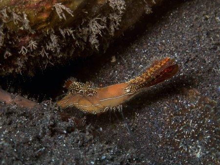 Креветка (Leander plumosus). Туламбен, Бали