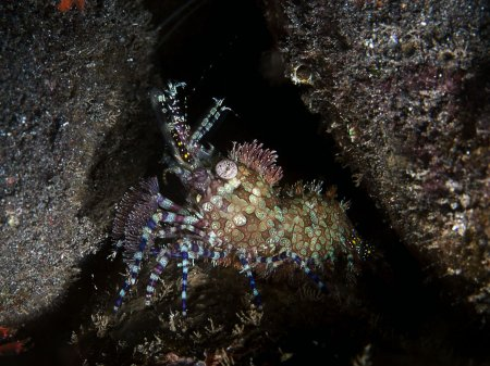 Креветка (Saron marmoratus). Туламбен, Бали