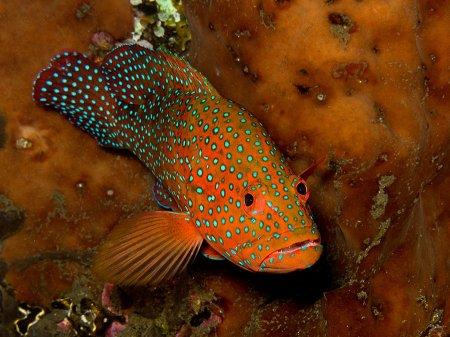 Коралловый групер (Cephalopholis miniata). Менджанган, Национальный парк Бали Барат