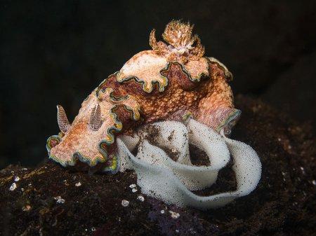 Голожаберный моллюск с икрой (Glossodoris cincta).Туламбен, Бали