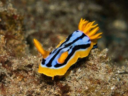 Голожаберный моллюск (Chromodoris hamiltoni). Паданг Бай, Бали