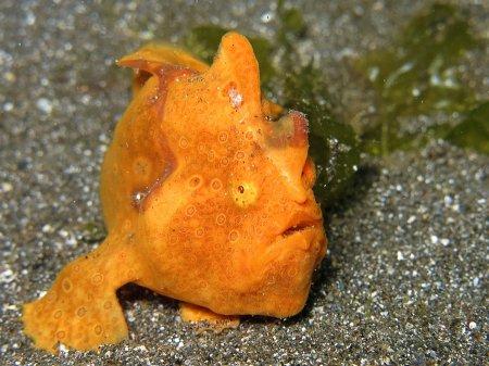 Рыба-лягушка (Antennarius pictus). Секрет Бэй, Бали
