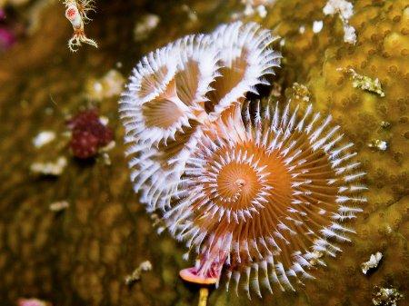 Трубчатый многощетинковый морской червь или червь «новогодняя елка» (Spirobranchus giganteus). Нуса Дуа, Бали
