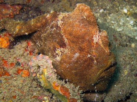 Рыба-лягушка (Antennarius commersoni). Нуса Дуа, Бали