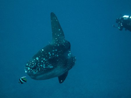 Обыкновенная луна-рыба или рыба-солнце (Mola mola). Кристал Бэй, Нуса Пенида