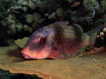 Барабуля двухпятнистая (Parupeneus bifasciatus). Туламбен, Бали