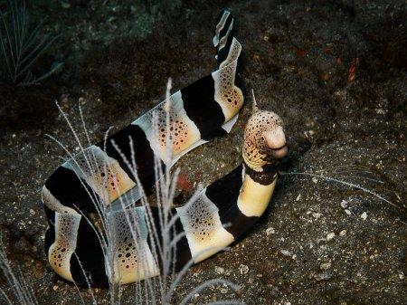 Полосатая мурена (Gymnothorax chlamydatus). Паданг Бай, Бали