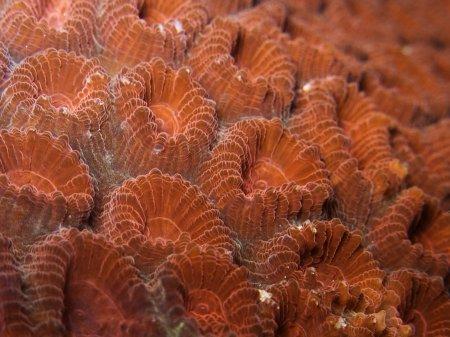 Мозговой коралл Фавия (Favia sp.). Менджанган, Национальный парк Бали Барат