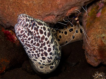 Пятнистая мурена (Gymnothorax favagineus). Туламбен, Бали