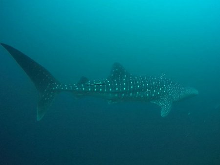 Whale shark (Rhincodon typus). Menjangan, West Bali National Park