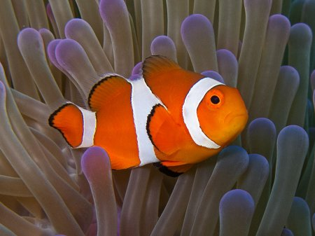 Diving in Bali. Interesting facts: Sea anemones and anemonefish