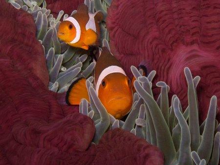 Clown Anemonefish (Amphiprion ocellaris). Tulamben, Bali