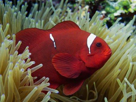 Дайвинг на Бали. Интересные факты: Морские анемоны и рыбы-клоуны