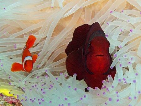 Spine cheek Anemonefish (Premnas biaculeatus). Menjangan, West Bali National