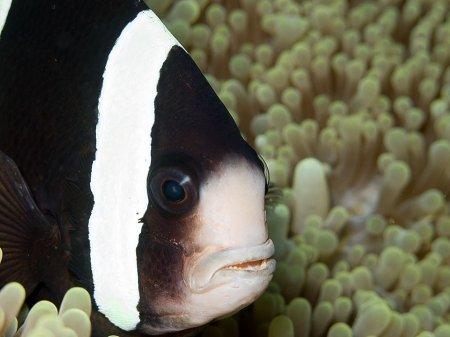 Saddleback clownfish (Amphiprion polymnus). Tulamben, Bali