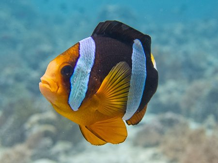 Allard's anemonefish (Amphiprion allardi). Menjangan, West Bali National Park