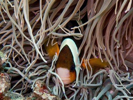 Two-band anemonefish (Amphiprion bicinctus). Padang Bay, Bali