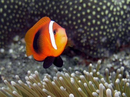 Red and Black Anemonefish (Amphiprion melanopus). Padang Bay, Bali