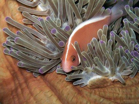 Pink skunk anemonefish (Amphiprion perideraion). Menjangan, West Bali National Park