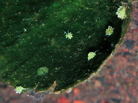 Sea slug Leaf sheep (Costasiella kuroshimae). Tulamben, Bali