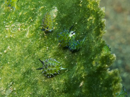 Sea slug Leaf sheep (Costasiella kuroshimae). Puri Jati, Bali