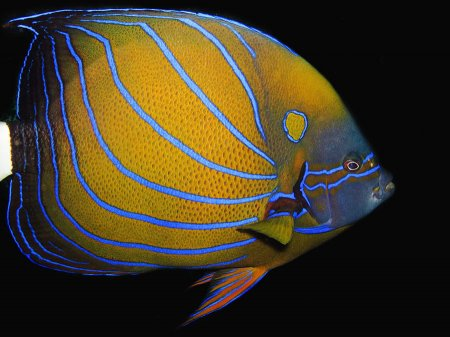 Blue Ring Angelfish (Pomacanthus annularis). Tulamben, Bali